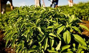 Сахарозаменитель стевия - это экстракт одноименной травы